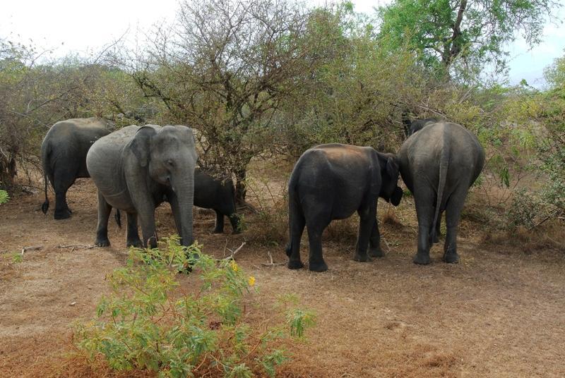 Les éléphants du Sri-Lanka